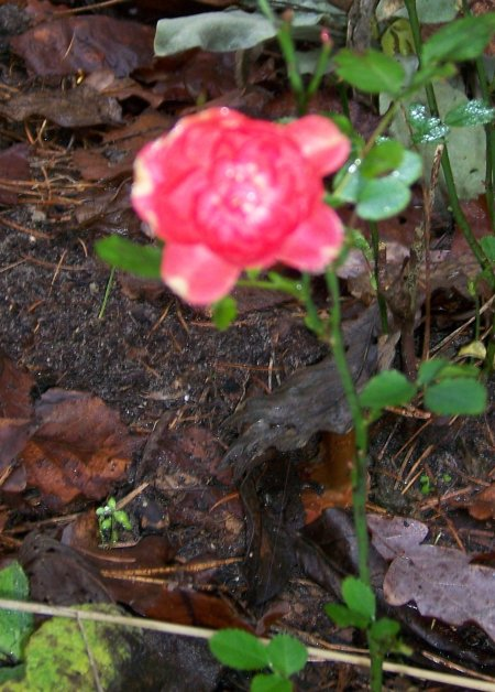 rose06.JPG