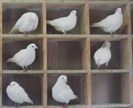 Pigeons-in-holes.jpg