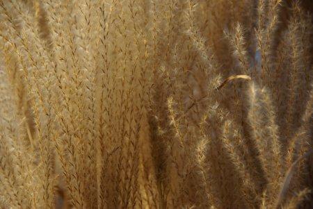gagoldenesgras450.jpg