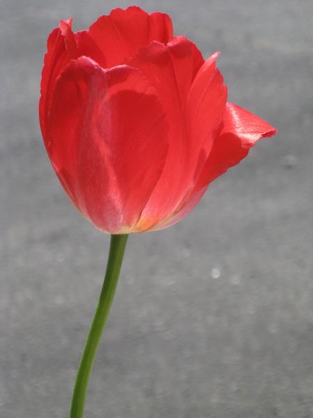 tulpe450.JPG